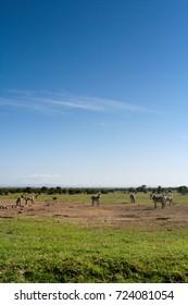 Zebras in the Masai Mara Kenya