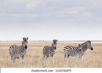 Zebras migration -  Makgadikgadi Pans National Park - Botswana