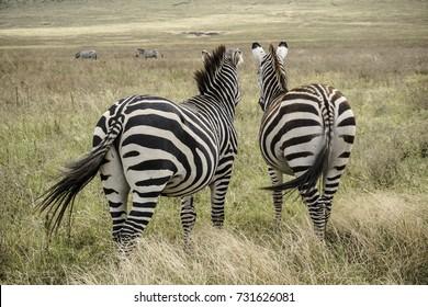 zebras in nature