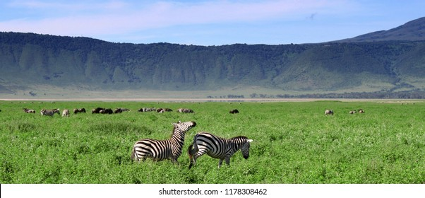 Zebras in the Ngorongoro Crater, Tanzania