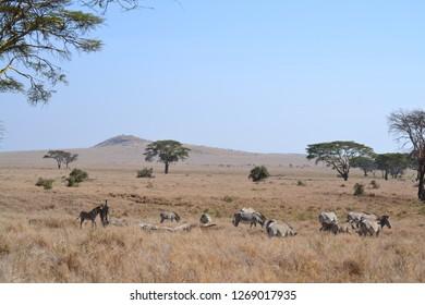 Zebras on dry african grassland landscape