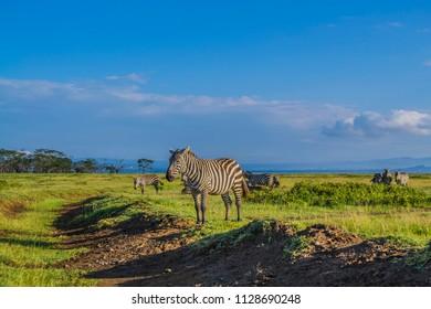 Zebras on green grassland landscape