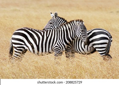 Zebras on the Masai Mara in southwestern Kenya.