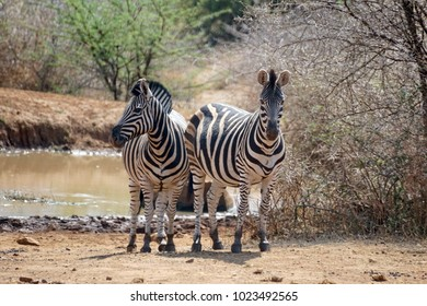 Zebras in the Pilanesberg National Park, South Africa