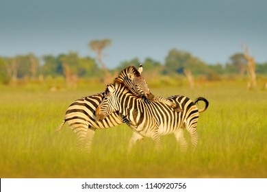 Zebras playing in the savannah. Two zebras in the green grass, wet season, Okavango delta, Moremi, Botswana