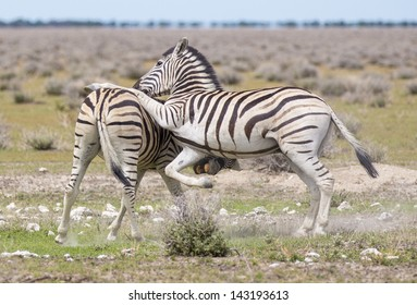 Zebras playing Two zebras playing in the open, one jumping on the other