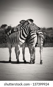 Zebras resting their heads on each other
