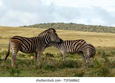 Zebras rubbing their necks in the field.