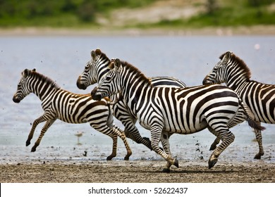 Zebras running beside a small lake in the Serengeti National Park, Tanzania