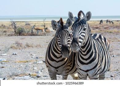 Zebras Selfie Etosha Nationalpark