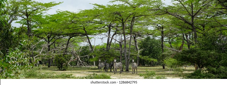 Zebras in the Selous National Park, Tanzania
