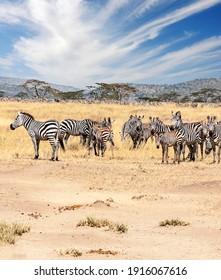 Zebras in the Serengheti national park of Tanzania