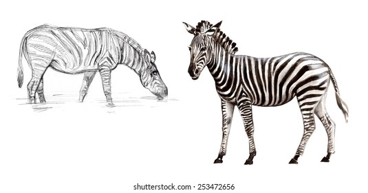 Zebras are several species of African equids