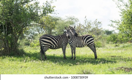 Zebras in the shade of a tree inside Akagera National Park, Rwanda