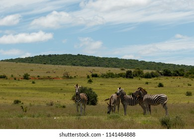 Zebras standing bunching together in the open field