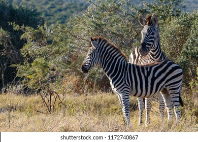 Zebras standing close to each other in the field