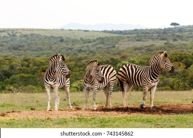 Zebras standing and looking in the same direction at the dam.