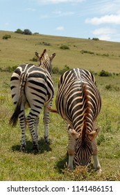 Zebras standing in the opposite directions together
