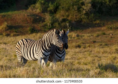 Zebras standing with their faces close to each other in the field