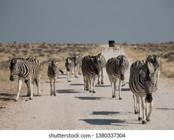 Zebras stroll along a dusty African road oblivious to traffic.