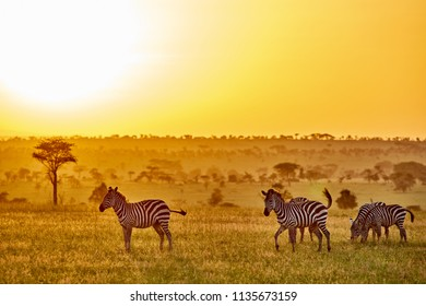 Zebras, sunset, and landscape in Serengeti National Park, Tanzania, East Africa