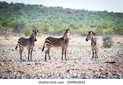 Zebras are watching if there is no danger in surround, Namibia