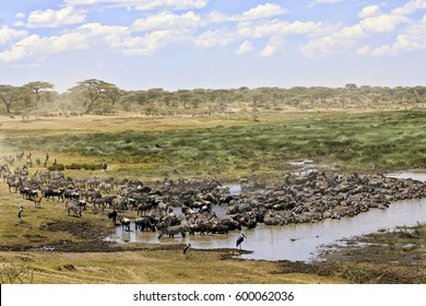 Zebras and wildebeest migrate through Tarangire Park in Tanzania.