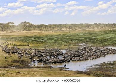 Zebras and wildebeest migrate through Tarangire Park in Tanzania.
