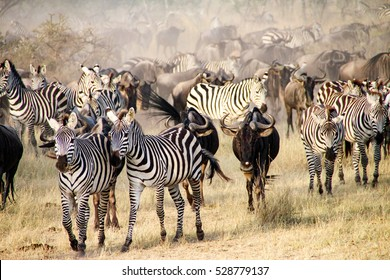 Zebras and wildebeests during the big migration in Serengeti National Park, Tanzania