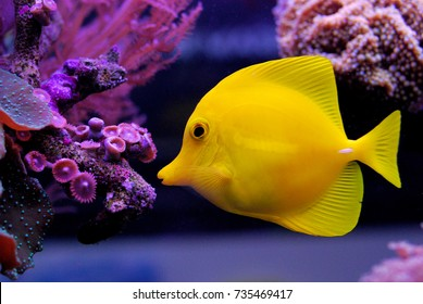 Zebrasoma flavescens - Yellow Tang