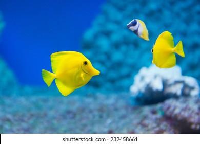 Zebrasoma flavescens - yellow tang - saltwater fish