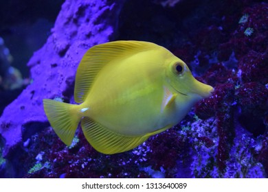 Zebrasoma is a genus of surgeonfishes native to the Indian and Pacific Oceans. They have disc-shaped bodies and sail-like fins