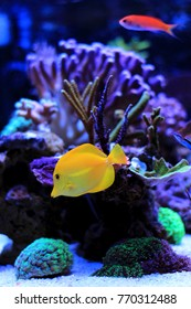 Zebrasoma yellow tang swim with other fishes in aquarium
