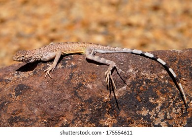 Zebra-tailed Lizard, Callisaurus draconoides - an incredibly fast reptile of the American southwest