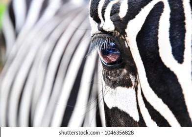 zebra.Wild animals on the African grassland, zebra.