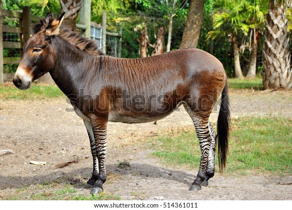 Zebroid a cross between a zebra and a donkey