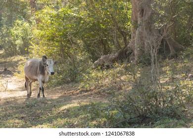 Zebu (Bos primigenius indicus) - Heading Home