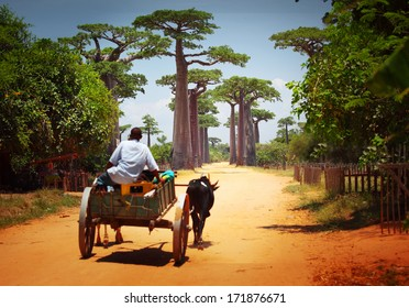 Zebu cart on a dry road leading through baobab alley. Madagascar
