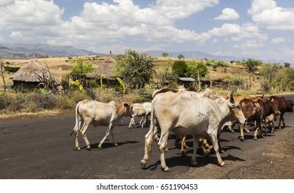 Zebu cattle on highway. Omo valley near Konso, Ethiopia