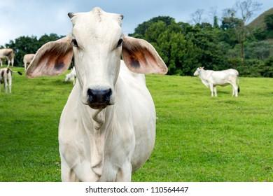 Zebu cow cattle in a farm in the Costa Rica Countryside.