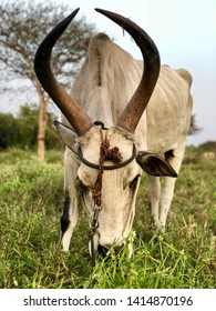 Zebu cow feeding green grass with hump and big horns. Close up of a Indian cow bos indicus grazing in a pasture land a in rural village.