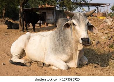 Zebu cows in India