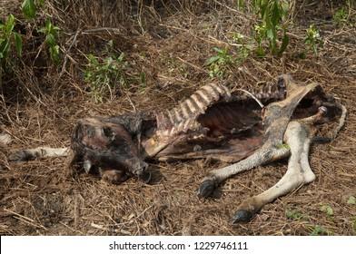 Zebu's carcass (Bos primigenius indicus). Keoladeo Ghana. Bharatpur. Rajasthan. India.