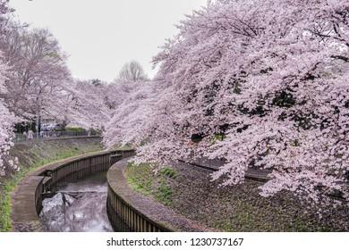 Zempukuji parkland cherry