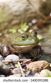 Zen frog in tropical garden pond     Closeup