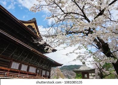 Zenkoji Temple Japan Cherry Blossom
