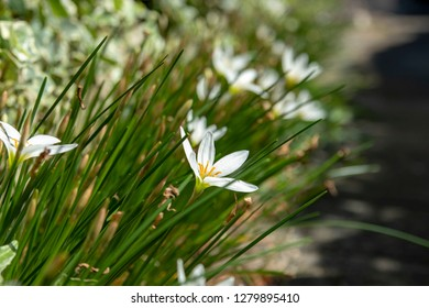 Zephyranthes candida. Blooms on the side of the road. September.