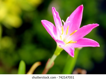 Zephyranthes Lily or rain Lily. Picture in vintage and retro tone