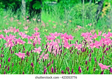 Zephyranthes, rainflower, Atamasco lily, meadow, pink flower in rain season