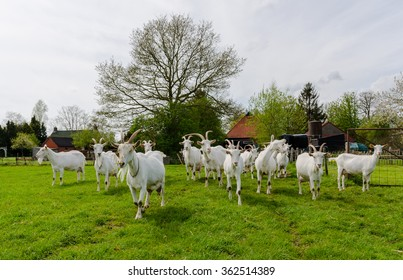 ZEVENHUIZEN, NETHERLANDS - CIRCA MAY 2015: White goats walking in the green pasture.